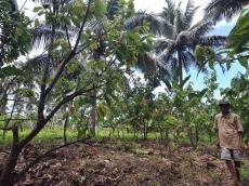 Perkebunan Masyarakat dan Kelestarian Lingkungan Siberut Terancam