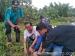Formma Kopal dan Pelajar Siberut Tengah Tanam 1500 Mangrove di Pantai Saibi Samukop